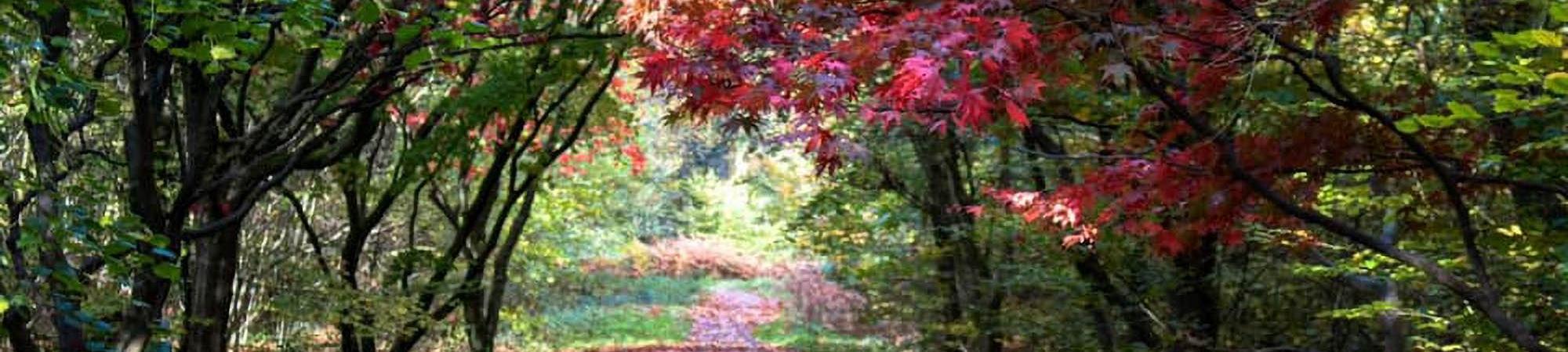 Acer Walk Alice Holt